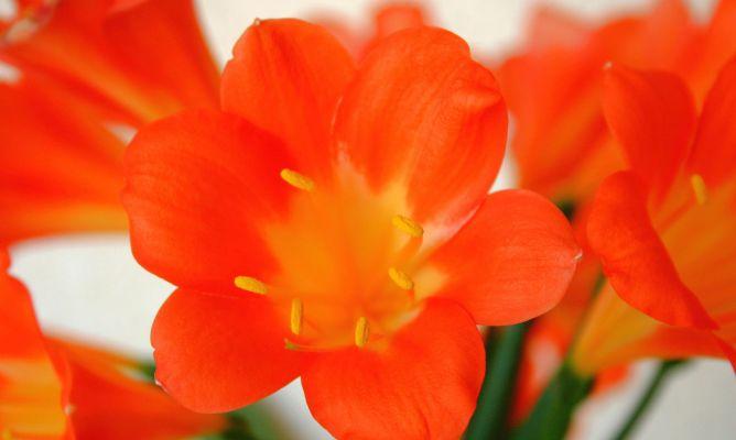 Plantas de interior con flores naranjas decogarden - Plantas con flor de interior ...