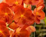 Orquídea aérea o vanda de color naranja