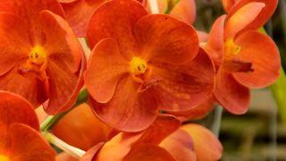 Orquídea aérea o vanda