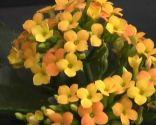 Calanchoe en tono amarillo