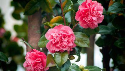 Camelia camellia japonica fichas de plantas - Cuidados de la camelia japonica ...