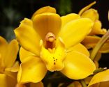 Orquídea cymbidium en tono amarillo