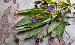 salvia - plantas resfriados y tos