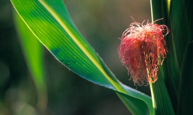 Plantas curativas para la infeccion de orina