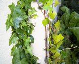 Amarres para plantas trepadoras