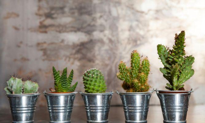 Cactus y plantas crasas hogarmania for Cactus para interior