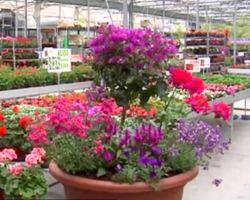 Composicion floral para el verano con buganvilla y geranios