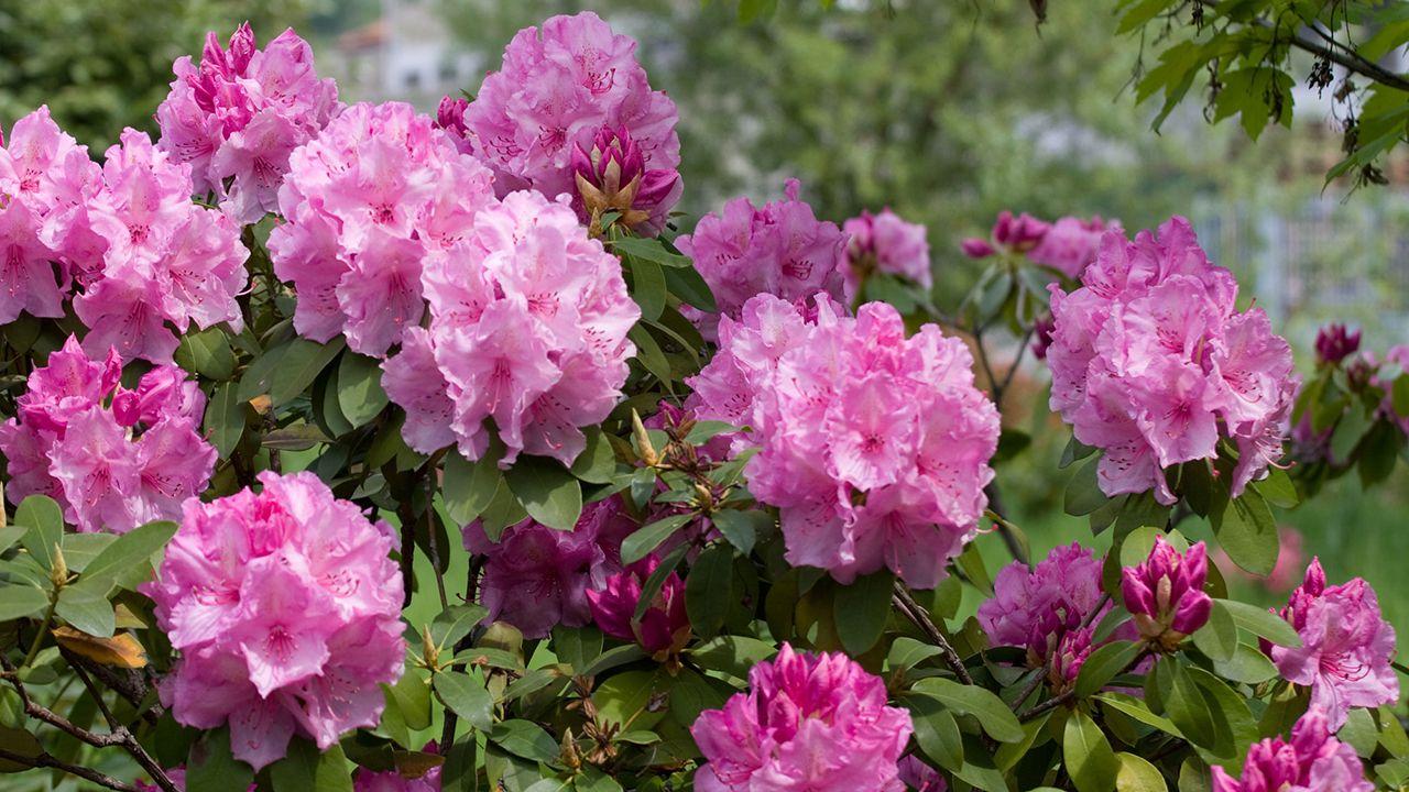 Poda del rododendro