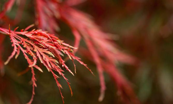 Acer palmatum dissectum atropurpureum decogarden - Arce japones cuidados ...