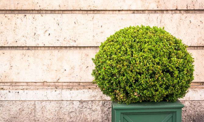 Rboles con forma esf rica o redondeada decogarden for Como se llaman las plantas ornamentales