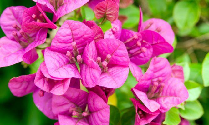 Buganvilla glabra o flor de papel hogarmania - Hogarutil plantas ...