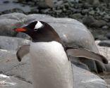 Recuperación de pingüinos con problemas en los pies