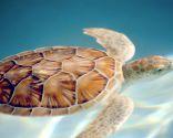 Mascoteros Recuperación de tortuga marina herida
