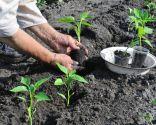 Plantar pimientos en la huerta