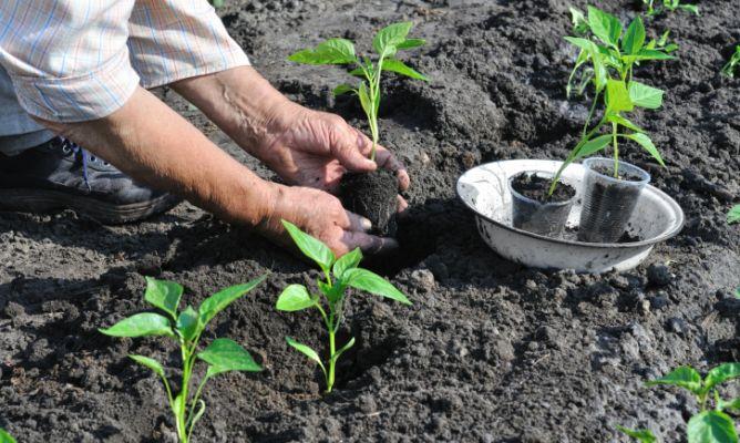C mo plantar pimientos en la huerta hogarmania - Como cultivar un huerto ...