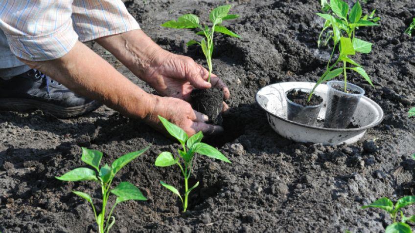 Cómo plantar pimientos en la huerta - Hogarmania