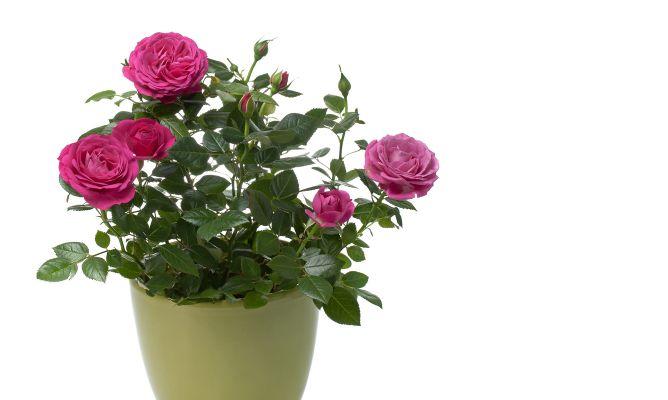 rosal mini o rosal de pitiminí - hogarmania