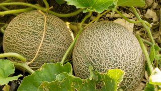 Plantar melón