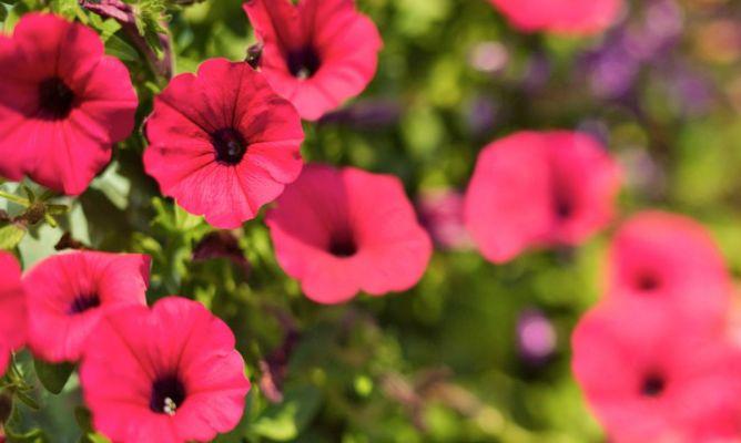 Petunia consejos para sus cuidados hogarmania - Hogarutil plantas ...