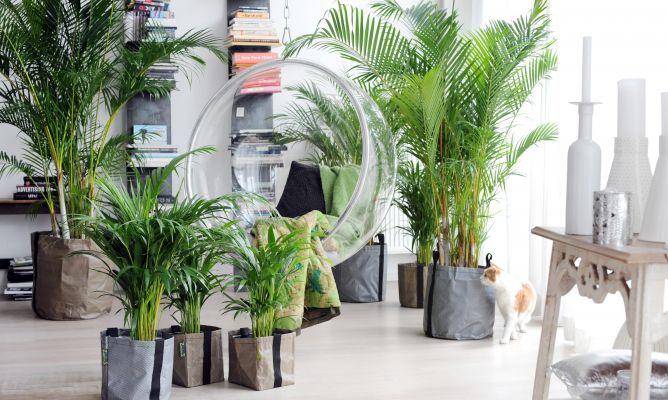 Areca, palmera tropical esbelta y aireada