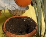 Cactus de porte colgante
