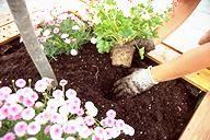 Plantar laurel, margaritas, geranios y surfinias en contenedor grande