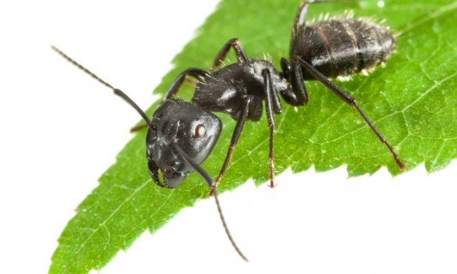 Combatir hormigas en el jard n hogarmania - Como eliminar las hormigas de la cocina ...