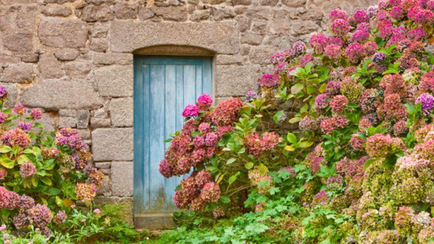 Cuidados de la hortensia - Hogarmania