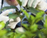 Podar hojas plantas interior