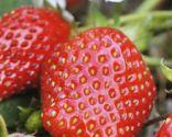 Cultivar fresas
