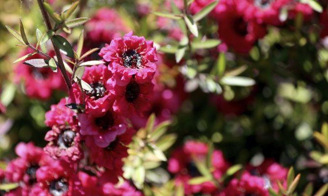 Arbustos de hojas y flores peque as decogarden - Arbustos perennes con flor ...