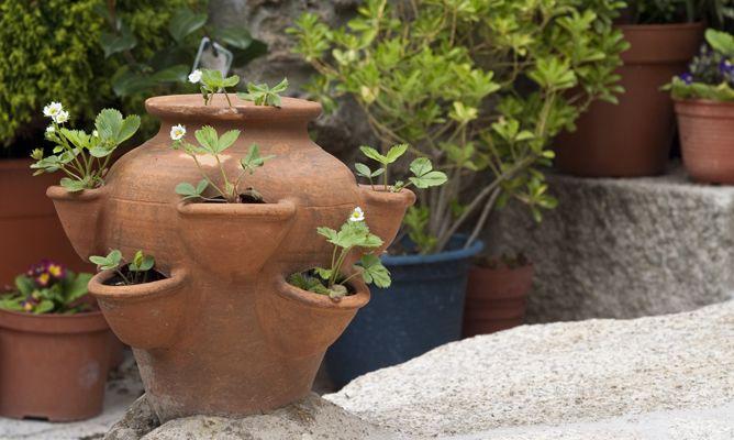Cultivar fresas en maceta hogarmania - Plantar en maceta ...