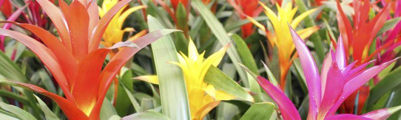 Tipos de bromelias - Tipos de plantas y sus cuidados ...