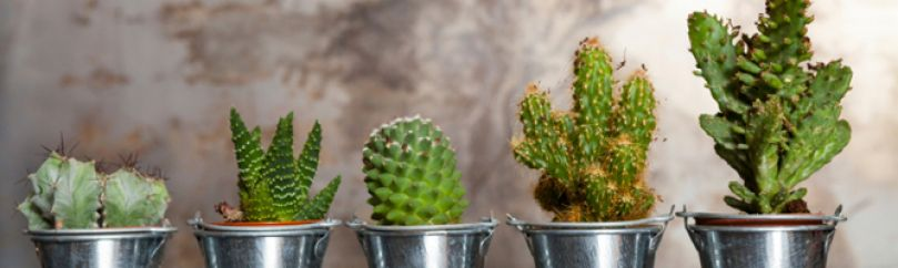 Tipos de cactus for Cactus enanos por mayor