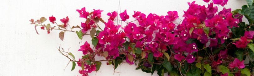 Plantas trepadoras - Plantas enredaderas de crecimiento rapido ...