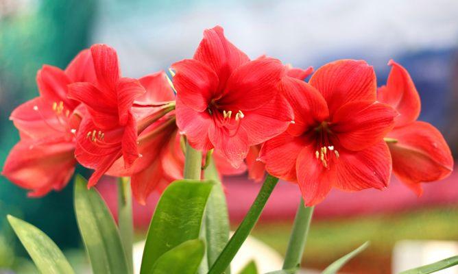 Trasplante del hippeastrum o amaryllis bricoman a for Amaryllis jardin