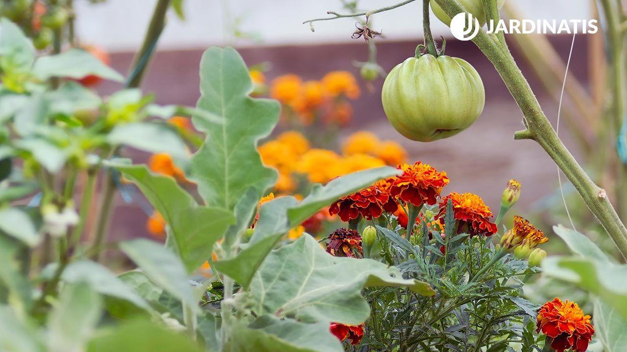 Plantar tagetes para evitar plagas en los tomates
