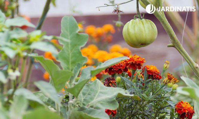 Plantar tagetes para evitar plagas en los tomates hogarmania - Cuando plantar tomates ...