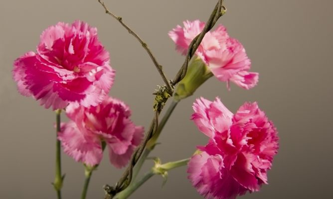 Clavel hogarmania for Plantas ornamentales clavel