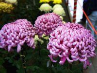 Tipos de crisantemo