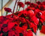 Poinsettia o flor de pascua