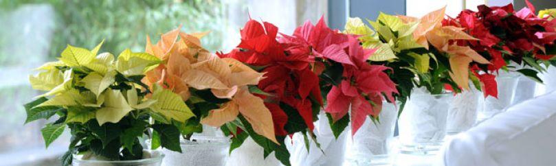 Flores para Navidad