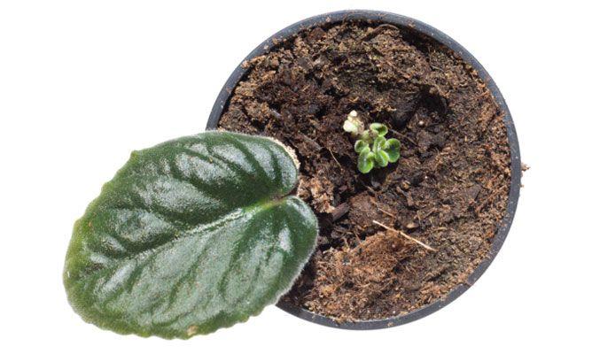 Reproducir plantas por esquejes de hoja bricoman a for Planta ornamental que se reproduzca por esquejes