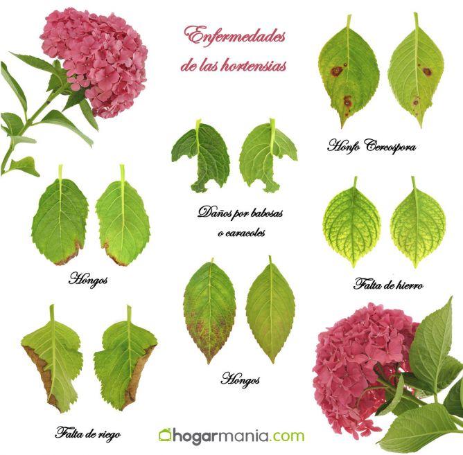 Enfermedades de las hortensias hogarmania - Cuidados de las hortensias ...