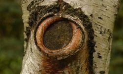 Cómo podar las ramas grandes de un árbol