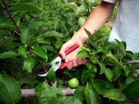 Cómo podar el manzano