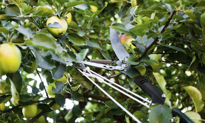 C mo podar el manzano bricoman a for Como podar un ciruelo de jardin