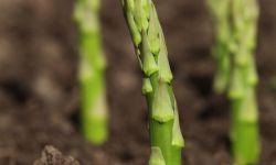Cómo cultivar la esparraguera