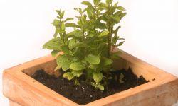 Plantar diferentes plantas culinarias