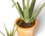 Plantar y cultivar Aloe vera